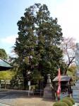 川口市保存樹木の「チャボヒバ」