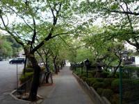 参道の安行桜