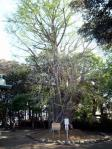 保存樹木イチョウ