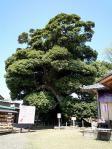 保存樹木スダジイ
