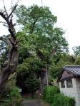 清河寺の大ケヤキ