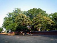 永昌寺巨木