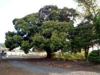 本堂裏の巨木
