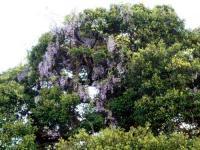 本堂裏の巨木に絡まる藤