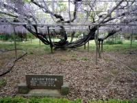 青葉園の藤の三本の茎