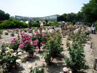 国際ばら新品種コンクール花壇