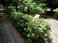 しきみ(樒)シキミ