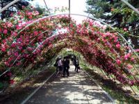 バラのトンネル