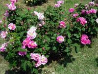 ブルガリアのバラ