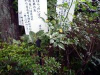 国分寺万葉植物園「ノイバラ」