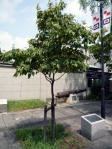 日米交流150周年記念植樹