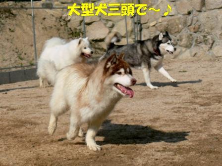 大型犬三頭で