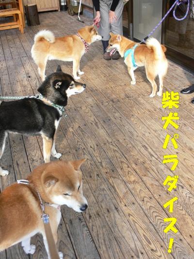 柴犬パラダイス