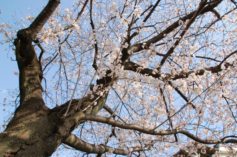 桜_001