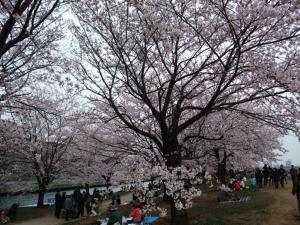 20100404_Sakura4.jpg
