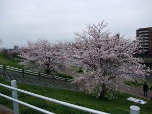 20100404_Sakura5.jpg