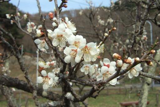 可愛い梅の花