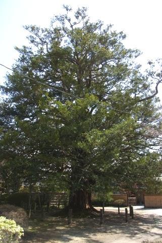 県指定天然記念物の古木カヤ
