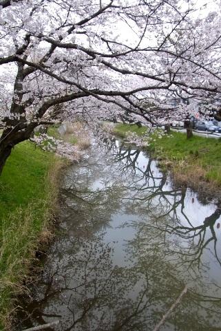 新川堤の桜