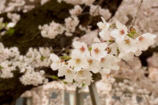満開の桜ちゃん