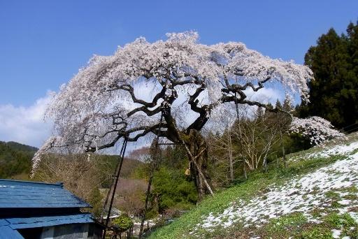 残雪のしだれ桜