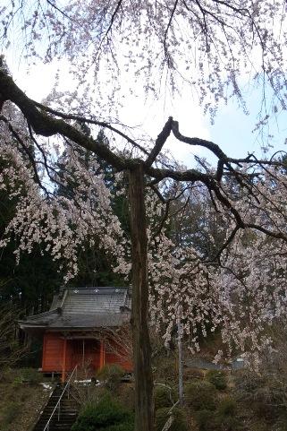 子安地蔵尊としだれ桜
