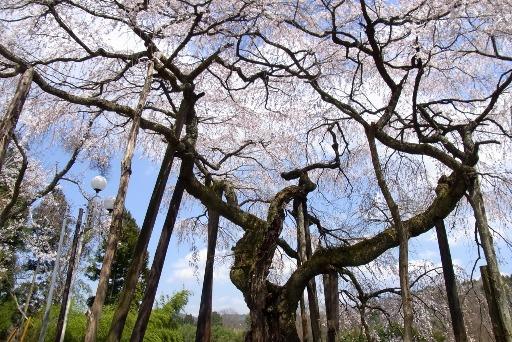 樹齢500年の枝ぶり
