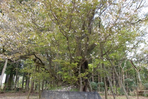 樹齢500年の幹