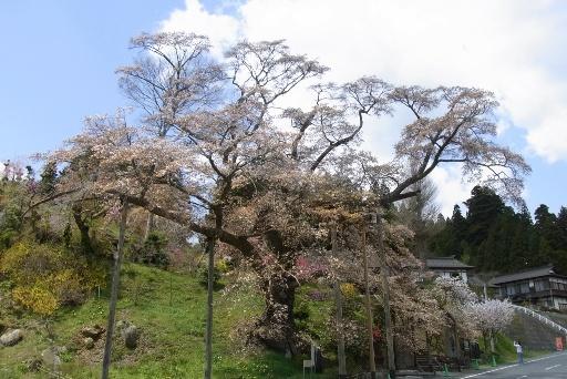 松岩寺のヤマザクラ