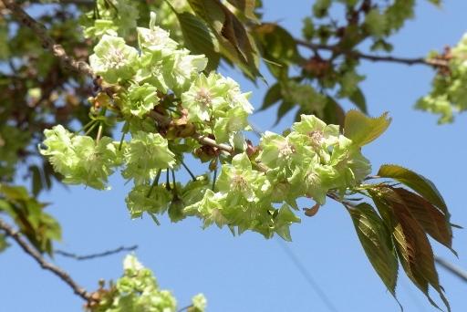 緑の桜(御衣黄)