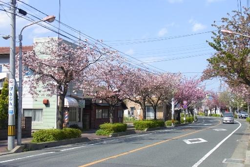 大学通りの八重桜並木