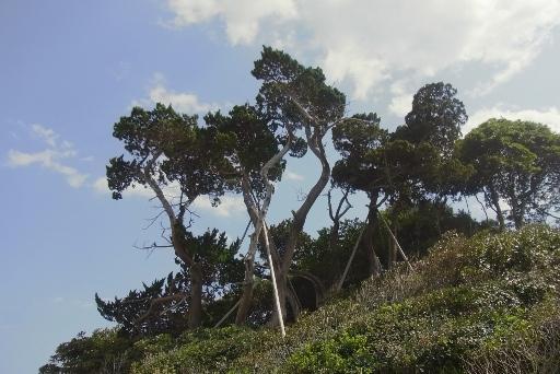 いぶき山のイブキ樹叢