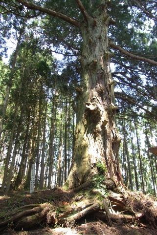 巨大なスギの木