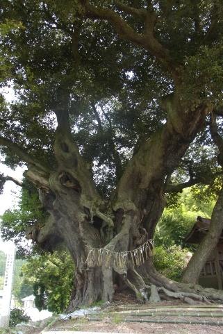 樹齢は600年のシイ