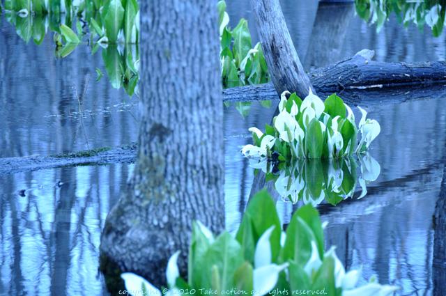 2011・5・3西岡公園水芭蕉
