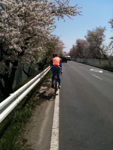 国体道路 桜