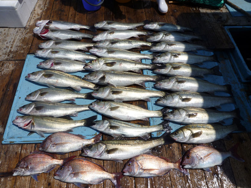 マダカがたくさん釣れました