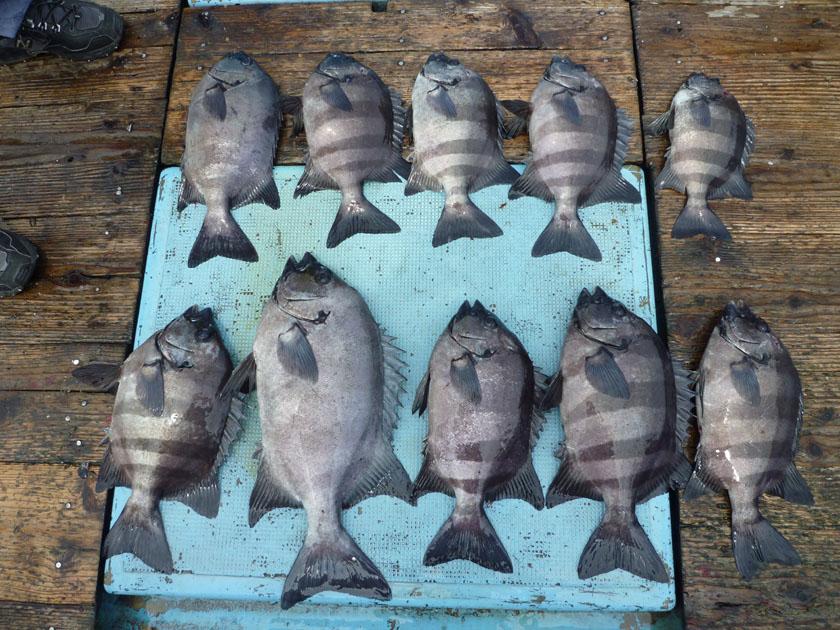 イシダイがたくさん釣れました