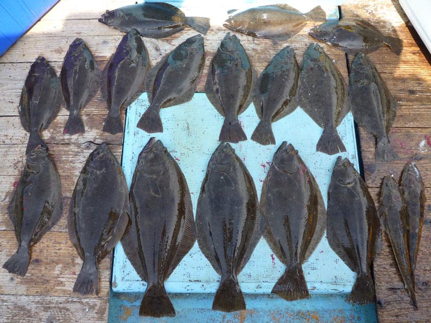 ヒラメたくさん釣りました