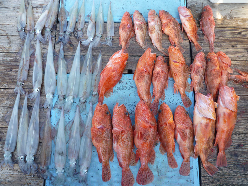 ヤリイカ、スルメイカがたくさん釣れました