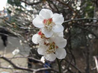 低地側は白梅中心に植えられている。