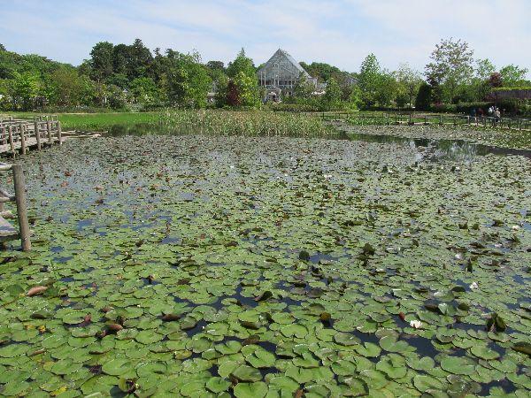 スイレンの葉で埋め尽くされた池と温室