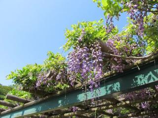 桜ヶ池脇の藤