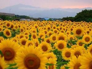 1308向日葵畑