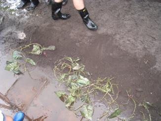地面からイモの蔓が出てるのです