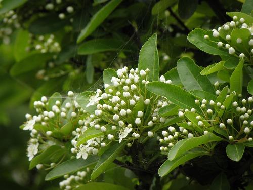 ピラカンサスの花