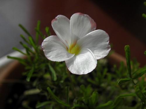 咲き始めたパーシーカラー