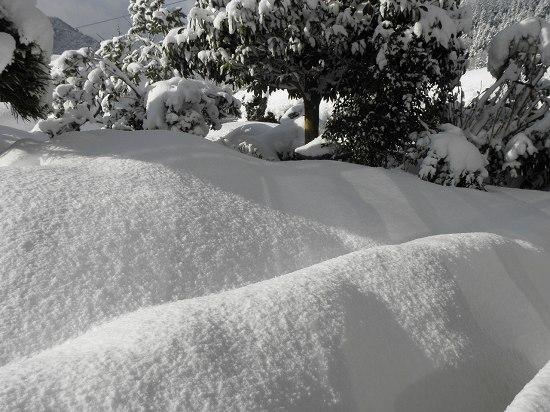 ツツジがすっぽりと雪に覆われてしまいました。