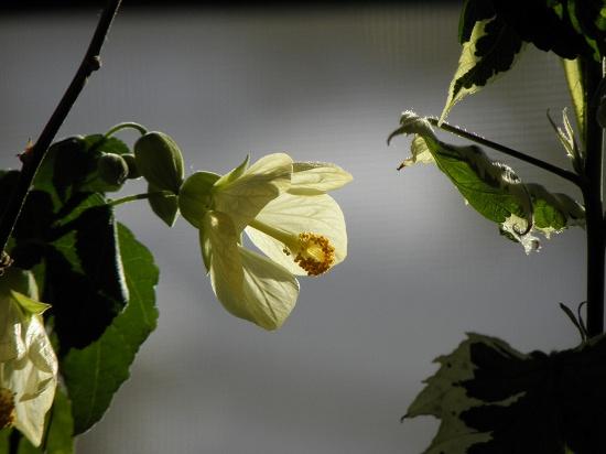 アブチロン 陽を受けて輝きを増します。