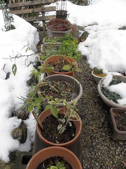 植木鉢の周りは雪が消えました。